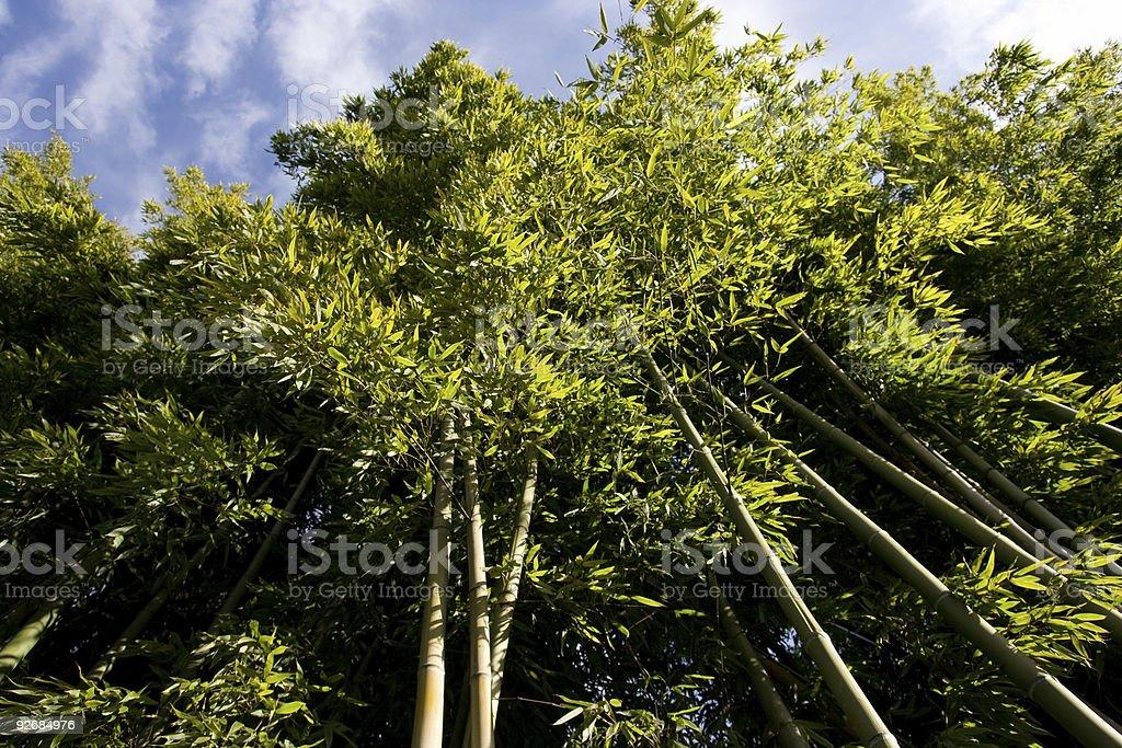Bamboo Tree, Bottom View royalty-free stock photo