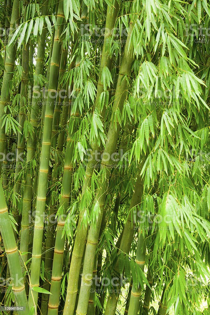 Bamboo tree royalty-free stock photo