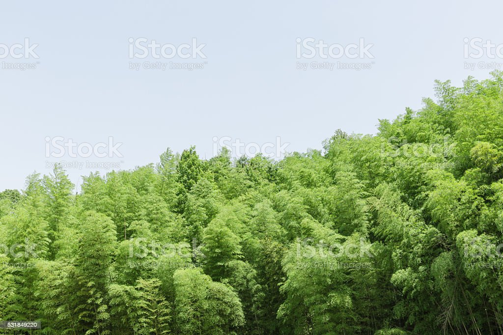 Bamboo trees branch stock photo