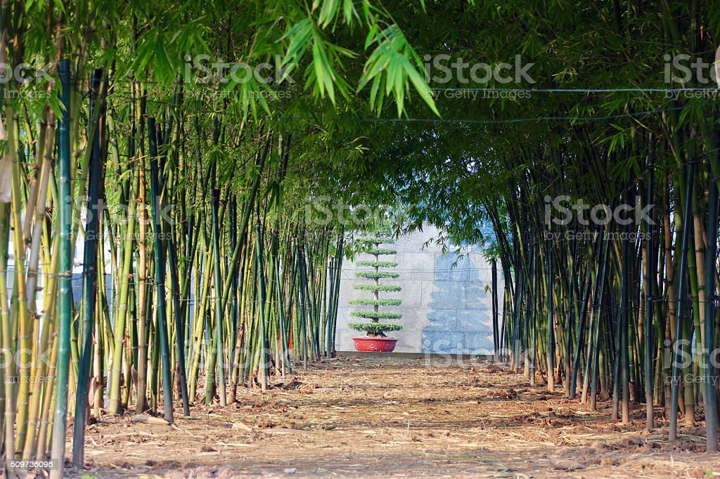 bamboo trees corridor stock photo