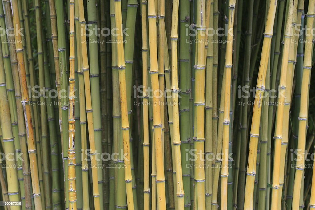Bamboo Trees In A Japanese Garden royalty-free stock photo