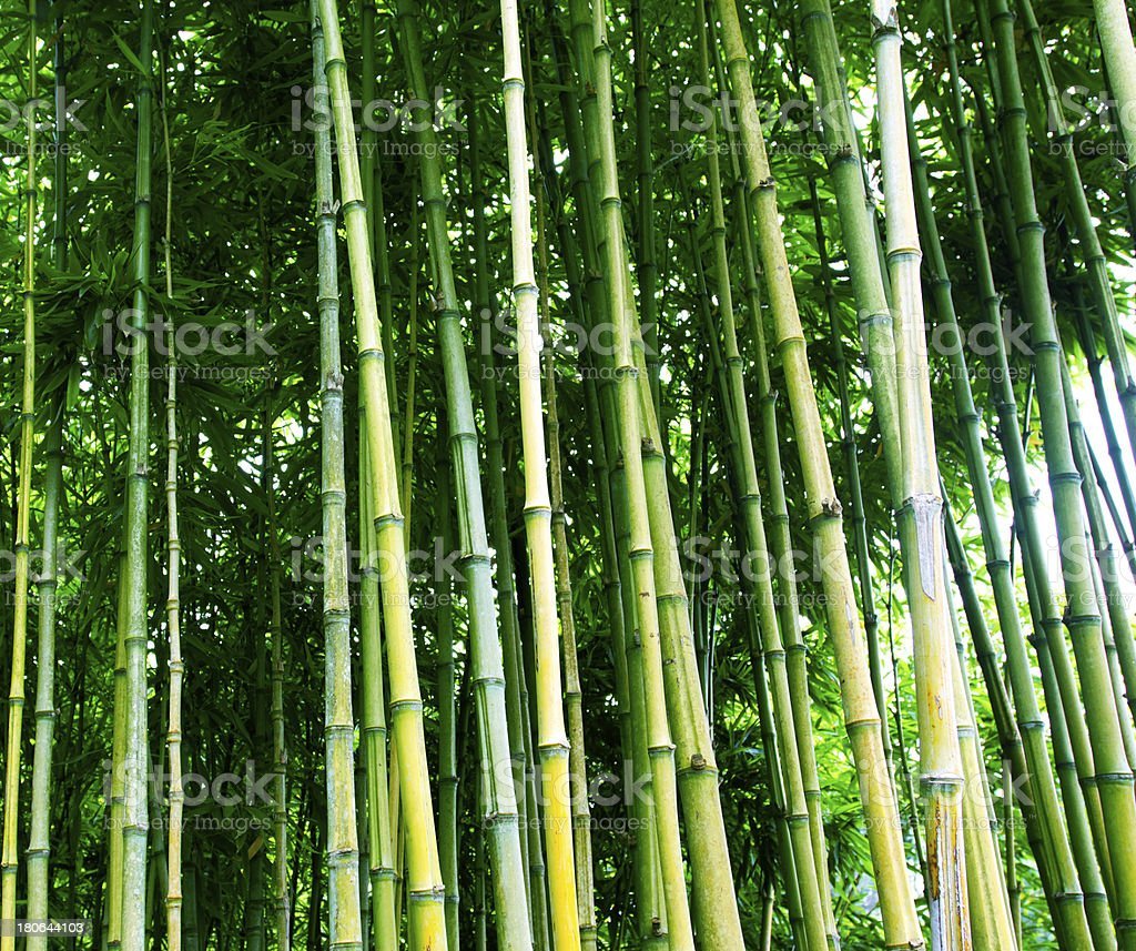 Bamboo trunks in the forest royalty-free stock photo