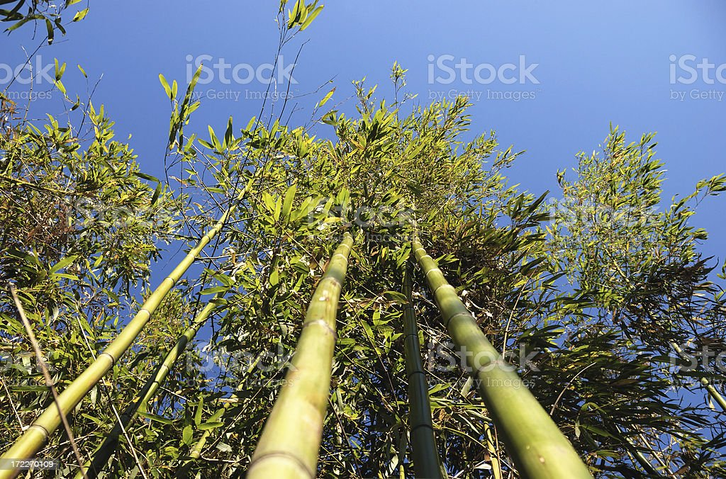 bamboo woods royalty-free stock photo