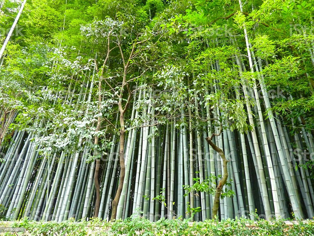 Bamboos in a Japanese Garden in Tokyo royalty-free stock photo