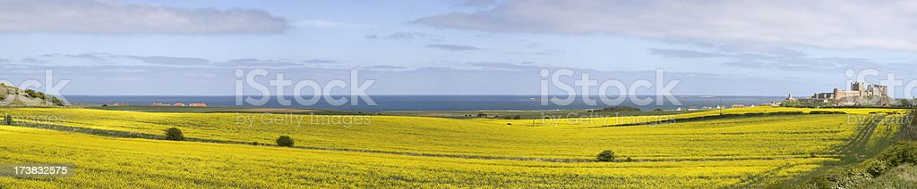Bamburgh Castle and canola field panorama royalty-free stock photo