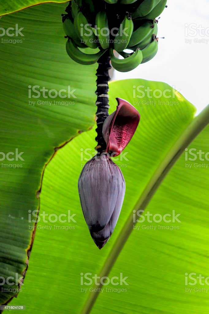 Banana Bloom and Fruits stock photo