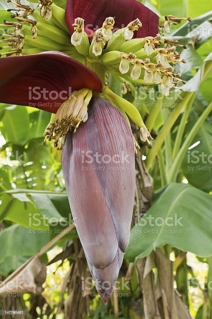 Banana blossom and bunch on tree stock photo