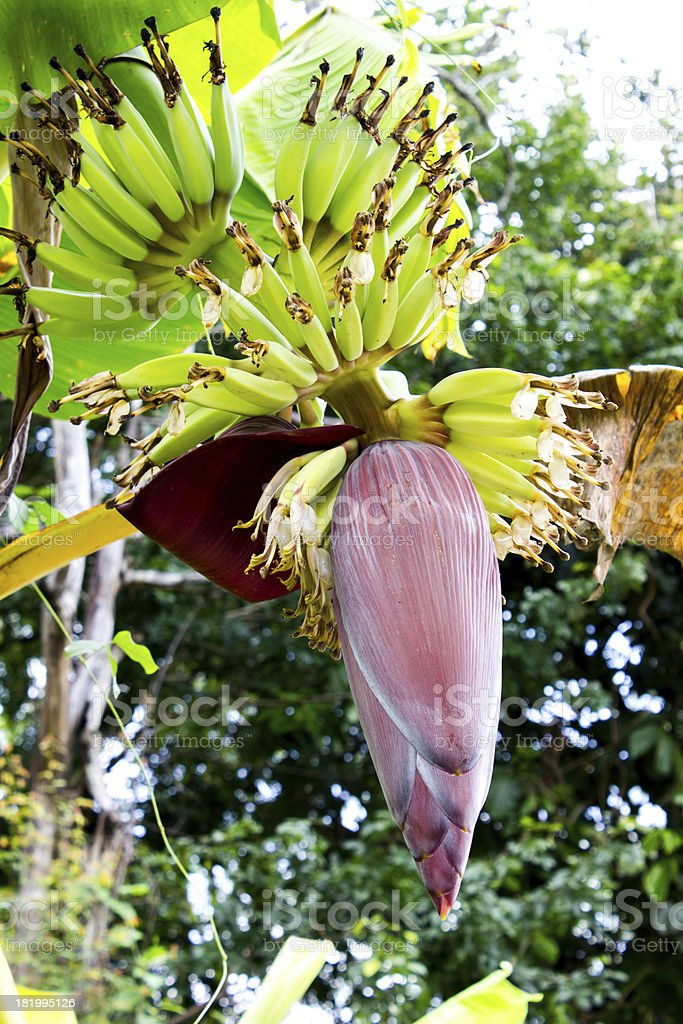banana blossom on the tree stock photo