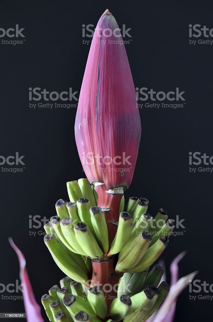 Banana blossom with leaves royalty-free stock photo