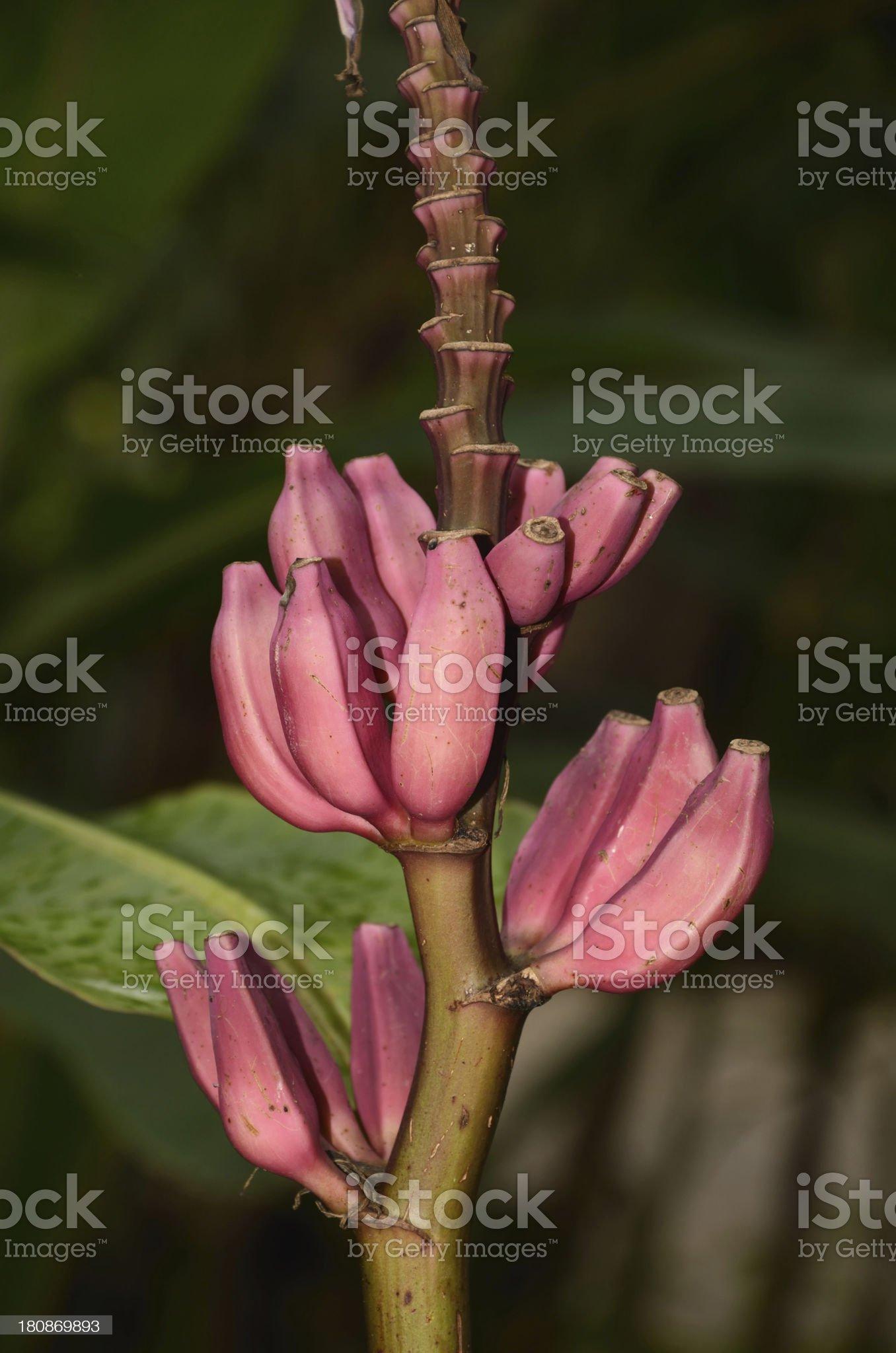 Banana branch royalty-free stock photo