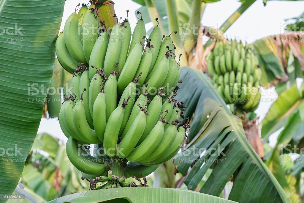Banana bunch of raw on banana tree in banana plantations stock photo