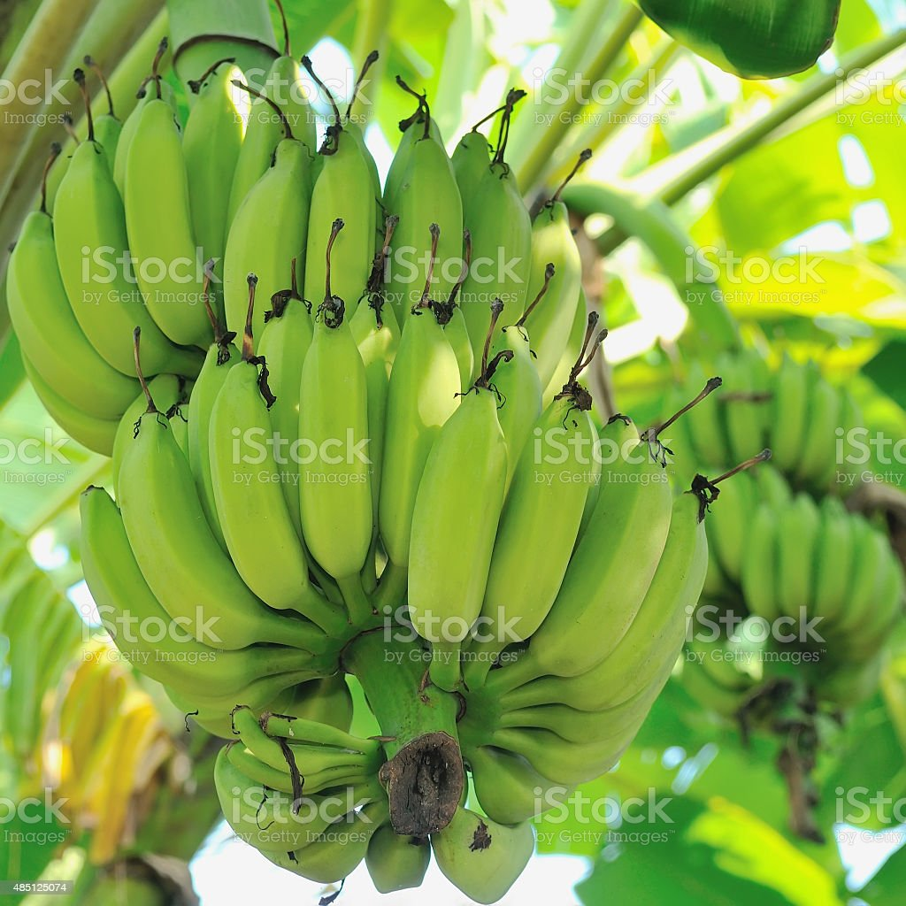 Banana bunch on tree in the garden,Thailand stock photo