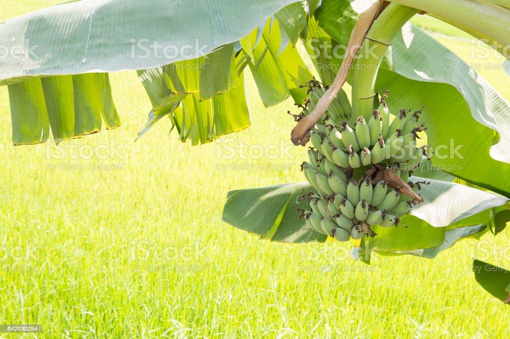 banana bundle in rice field. stock photo