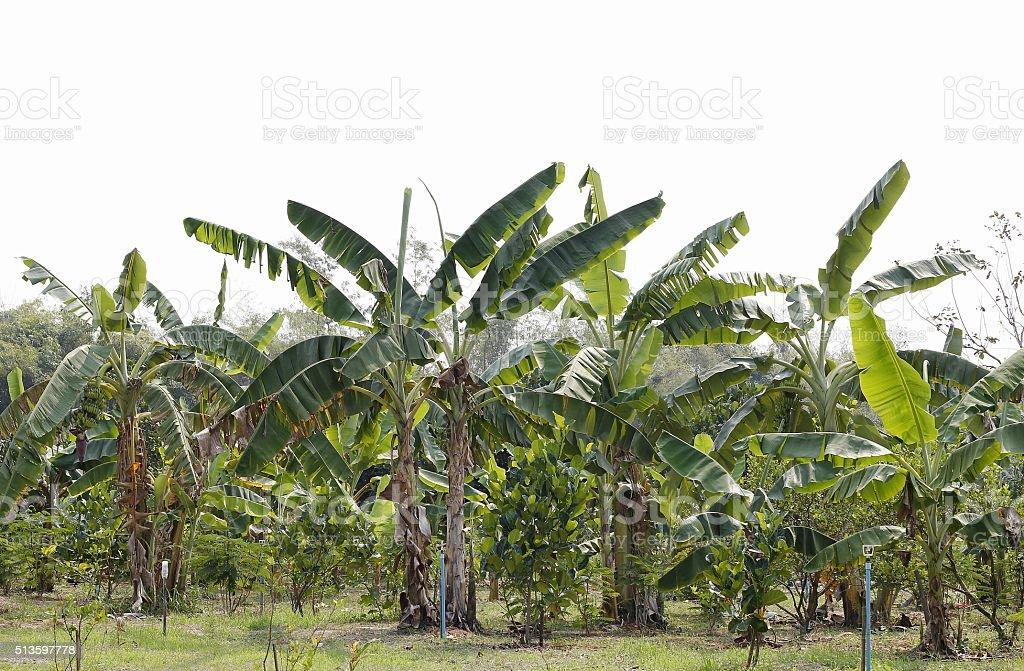 Banana farm in Thailand stock photo