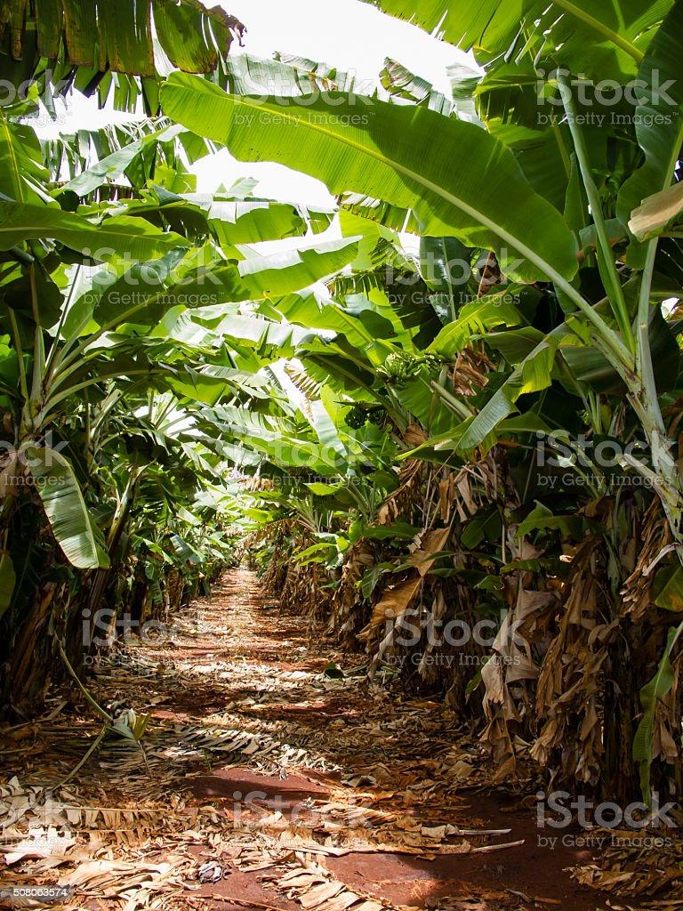 Banana farm stock photo