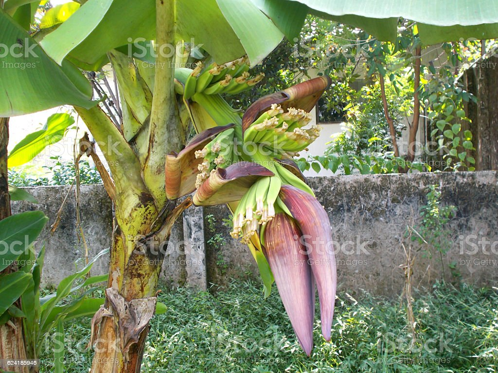 banana flower at the tree stock photo