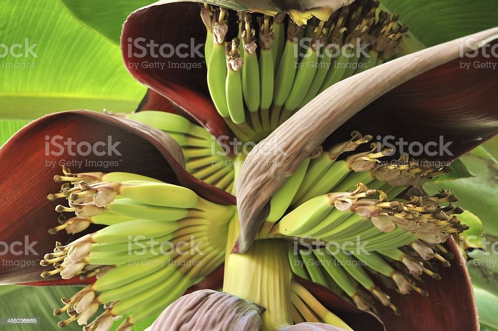 Banana flower blossom with little bananas stock photo