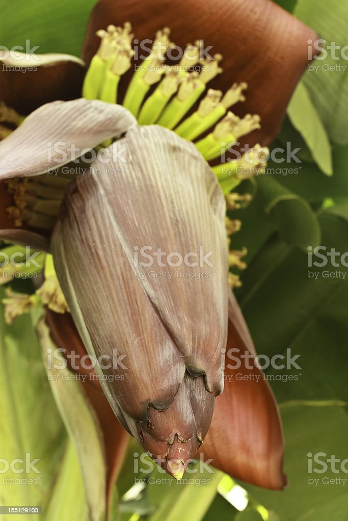 Banana Flower from Below stock photo