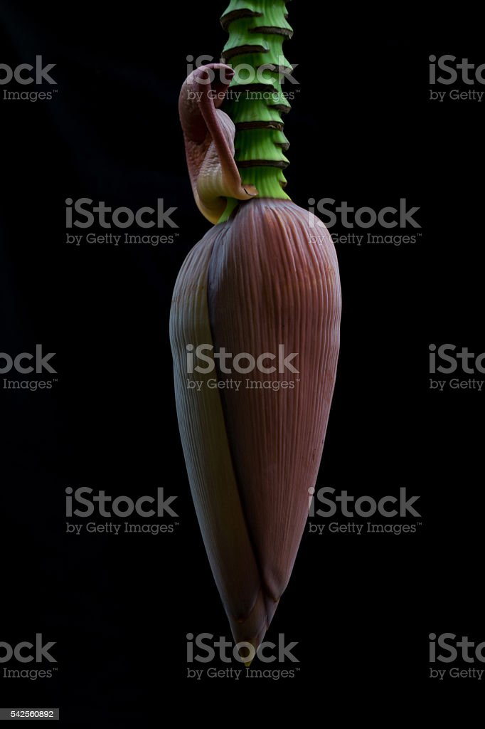 banana flower isolated on black background, abstract photo stock photo