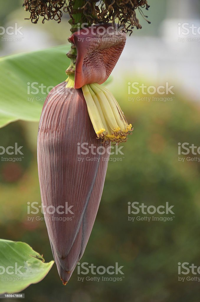 Banana Flower royalty-free stock photo