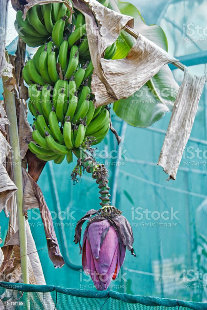 Banana flower with fruit stock photo