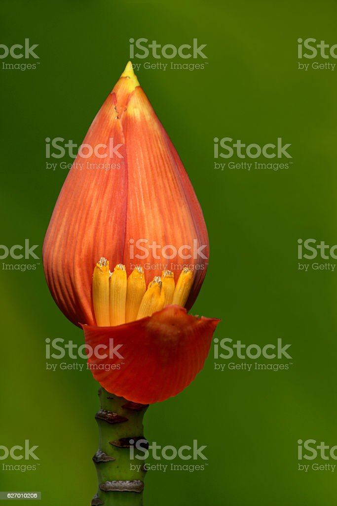 Banana flowers stock photo