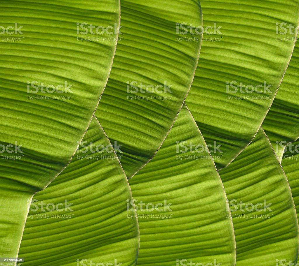 Banana foliage stock photo
