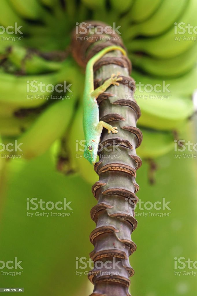 Banana Gecko stock photo