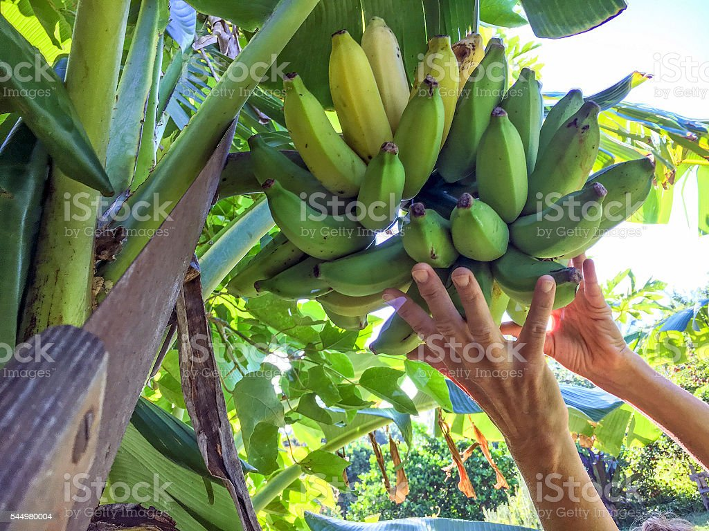 Banana harvest stock photo