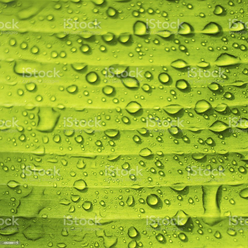 Banana leaf and dews stock photo