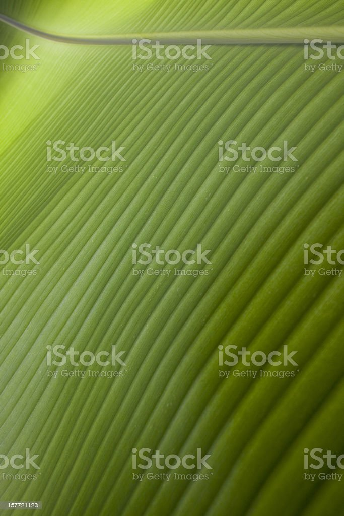 Banana leaf background. stock photo