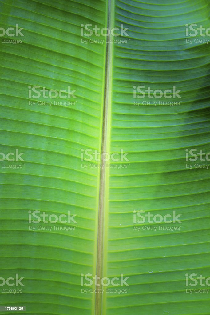 banana leaf close up royalty-free stock photo