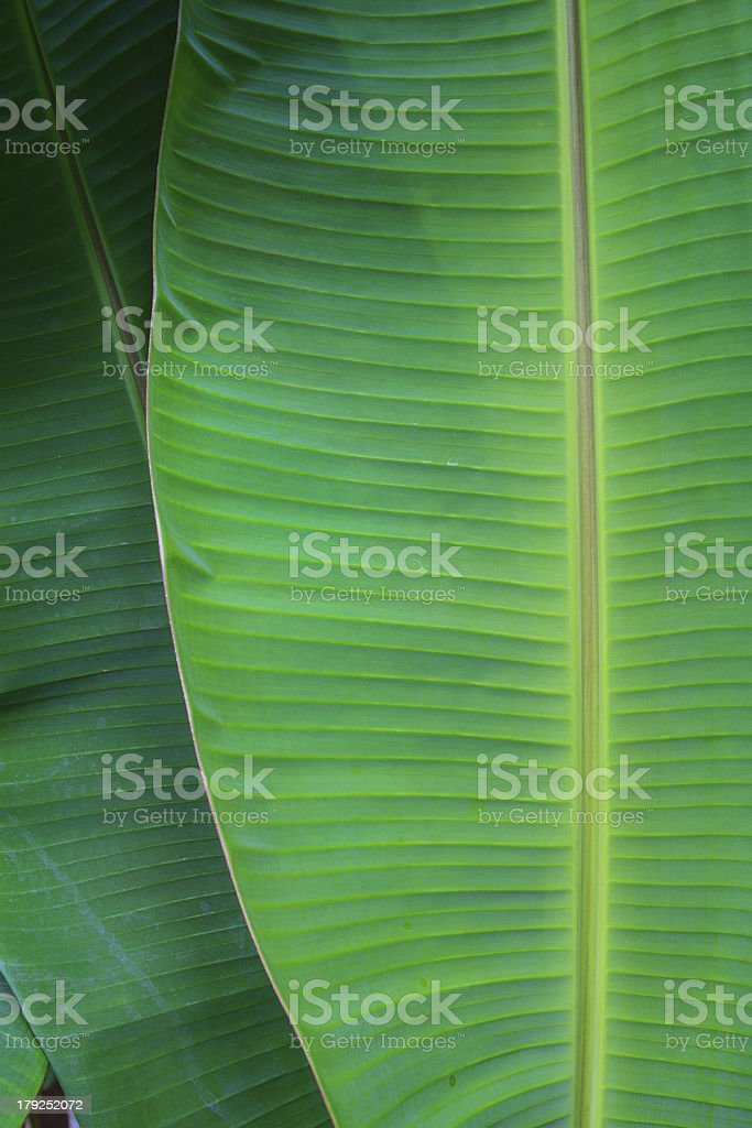 banana leaf close up stock photo