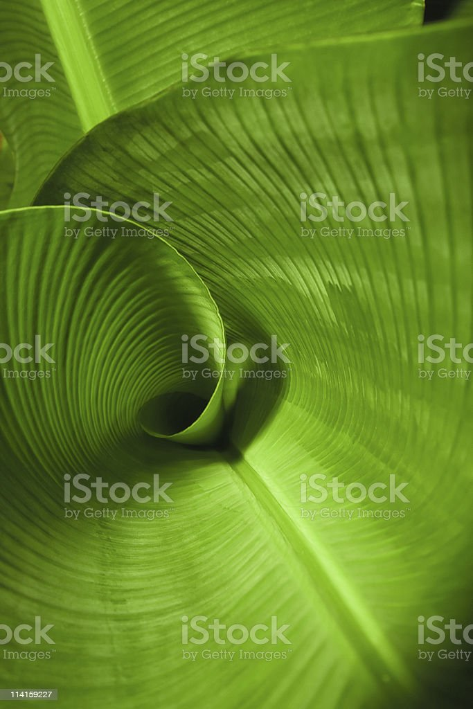 Banana Leaf Curl stock photo