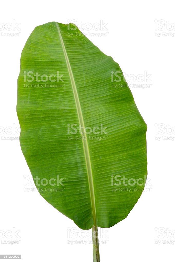 Banana leaf isolated on white background stock photo