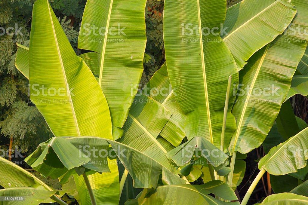 banana leaf mountain stock photo