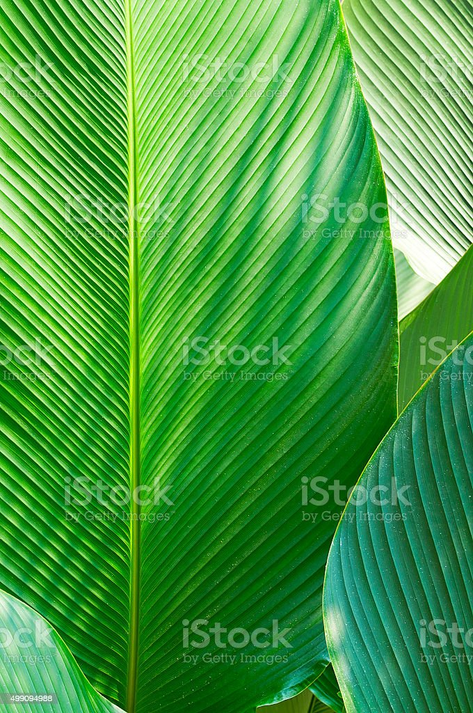 Banana leaf stock photo
