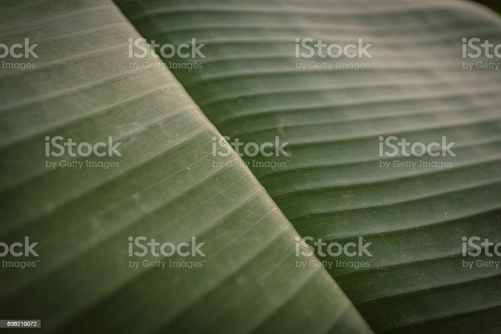 Banana leaf, texture for graphic background stock photo