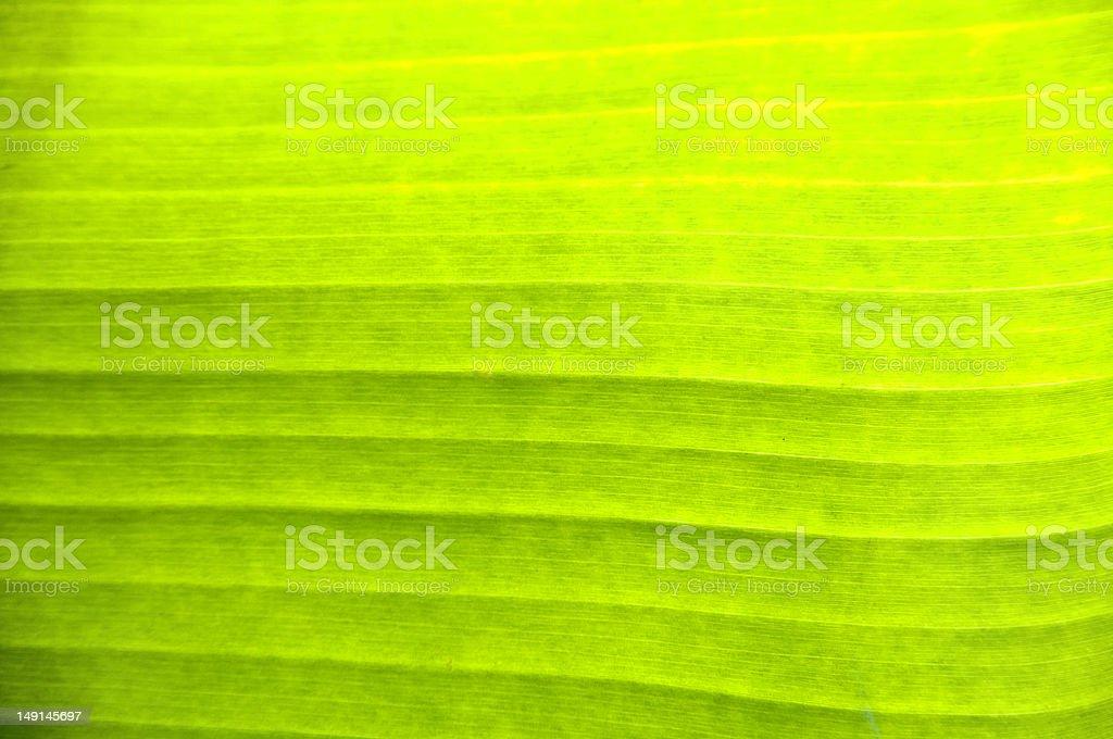 Liść bananowca Tekstura zbiór zdjęć royalty-free