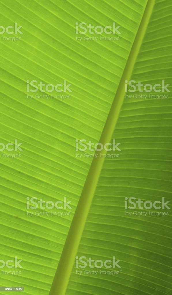 Banana leaf texture royalty-free stock photo