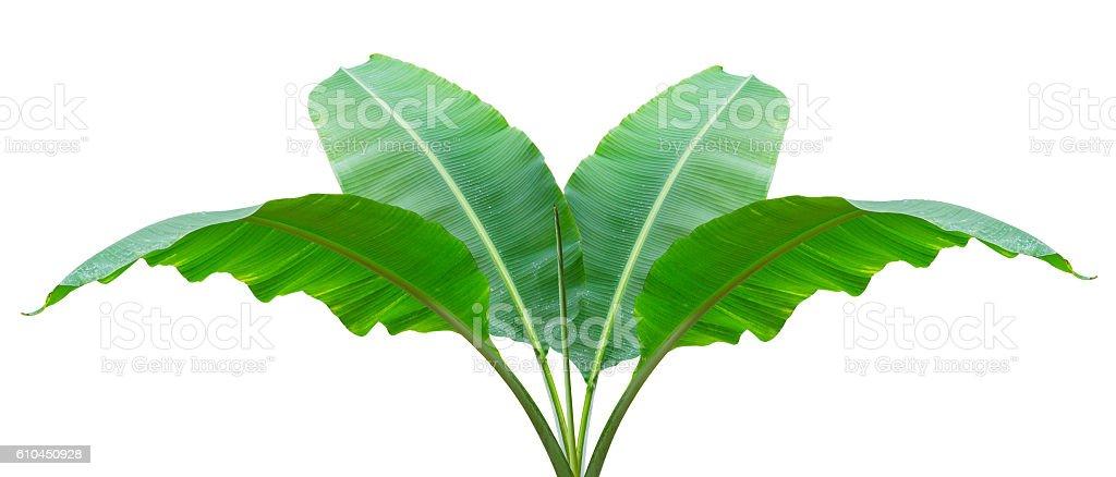 Banana leaf Wet isolated on white background. stock photo