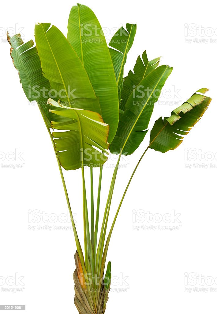 Banana leaf with clipping path isolated on white stock photo