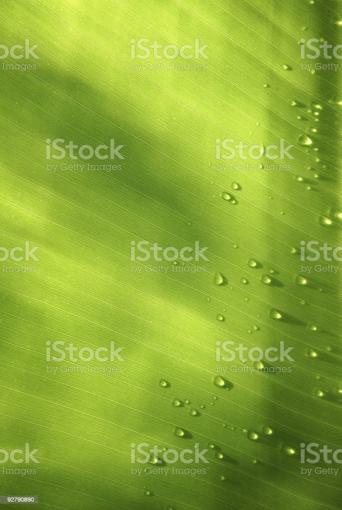 Banana Leaf with Drops royalty-free stock photo