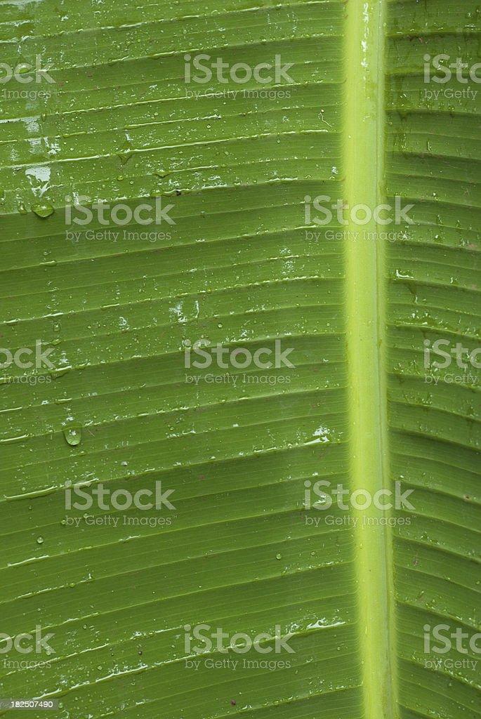 Banana Leaf with raindrops stock photo