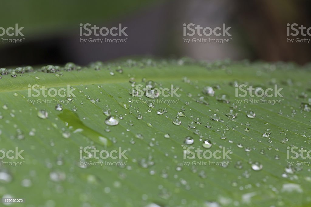 banana leaf with water drops royalty-free stock photo