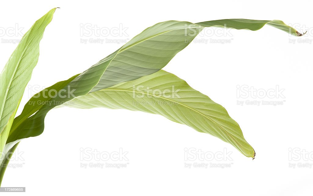 Banana leaves royalty-free stock photo