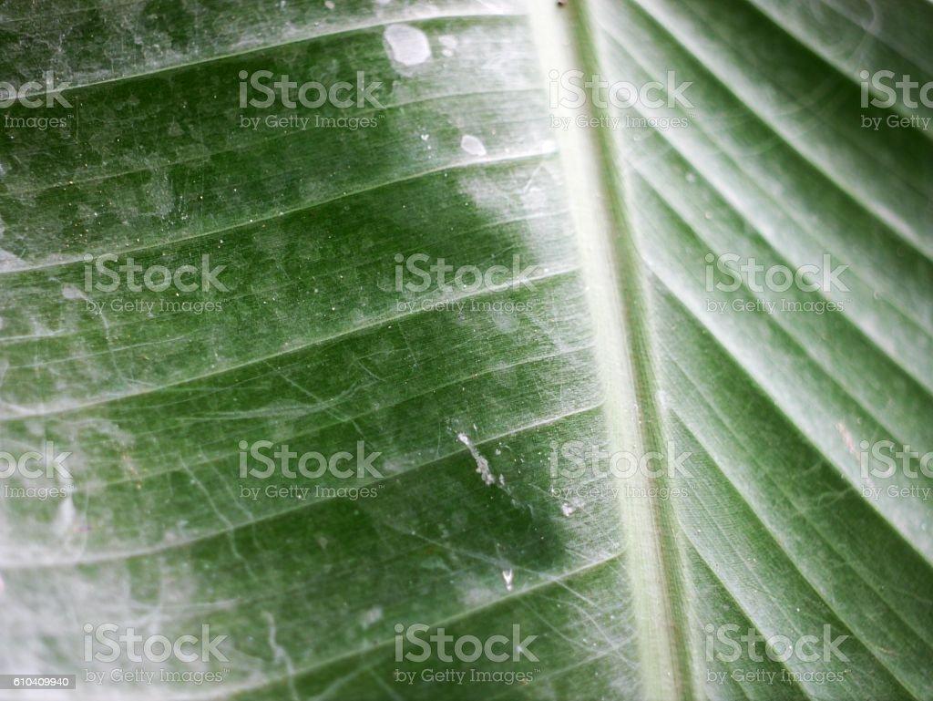Banana Leaves stock photo