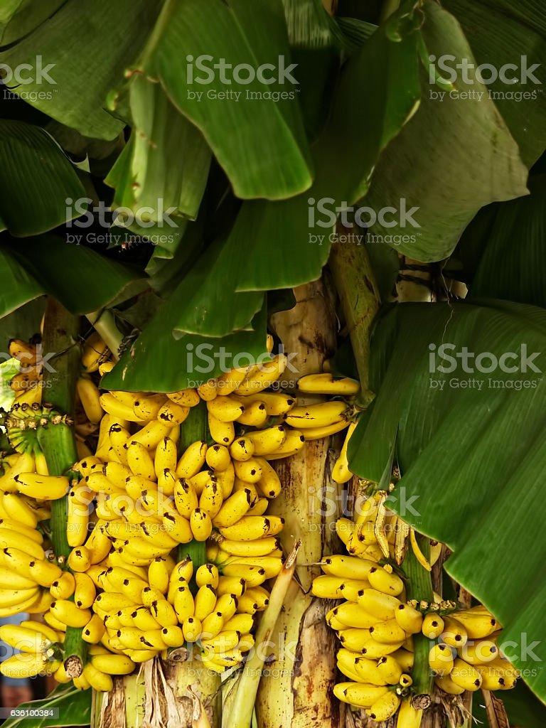 Banana. Musa spp. Musaeceae. Kluai. Pisang. Saging. stock photo
