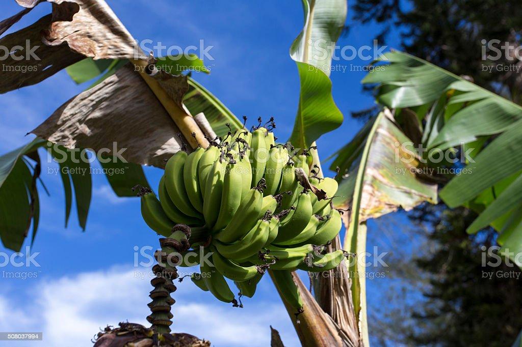 banana on tree stock photo