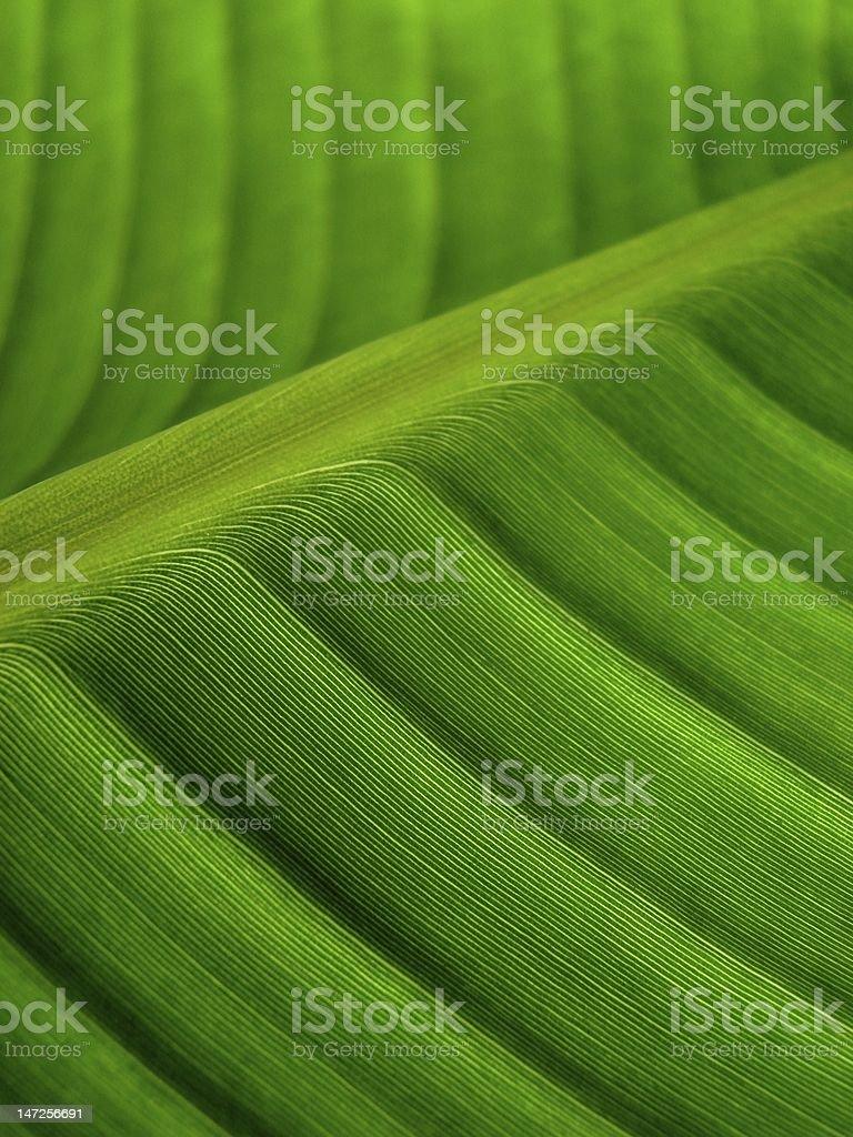banana palm leaf green dark royalty-free stock photo